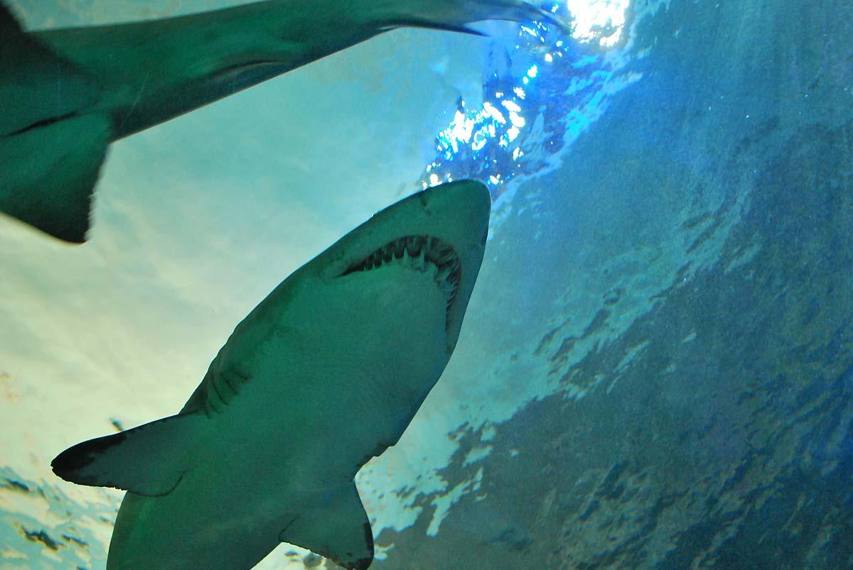sharks in aquarium