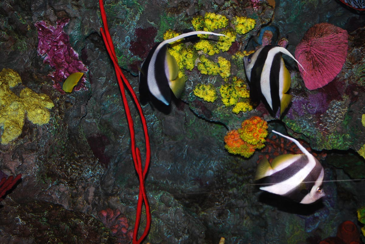 angelfishes in aquarium