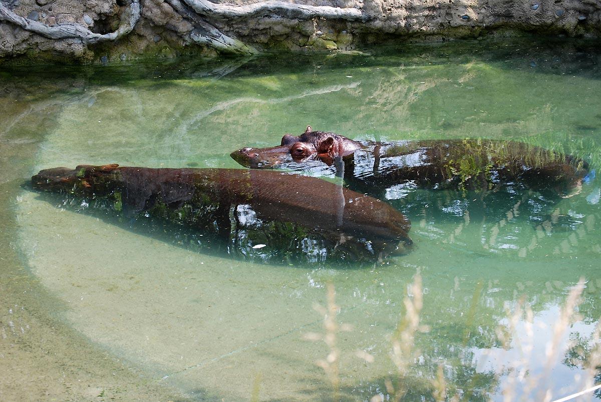hippo in pull