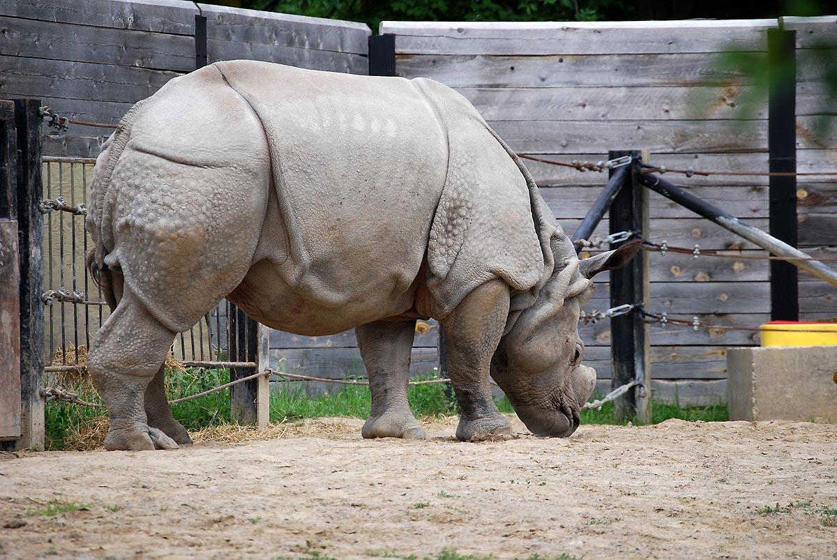 wild rhinoceros