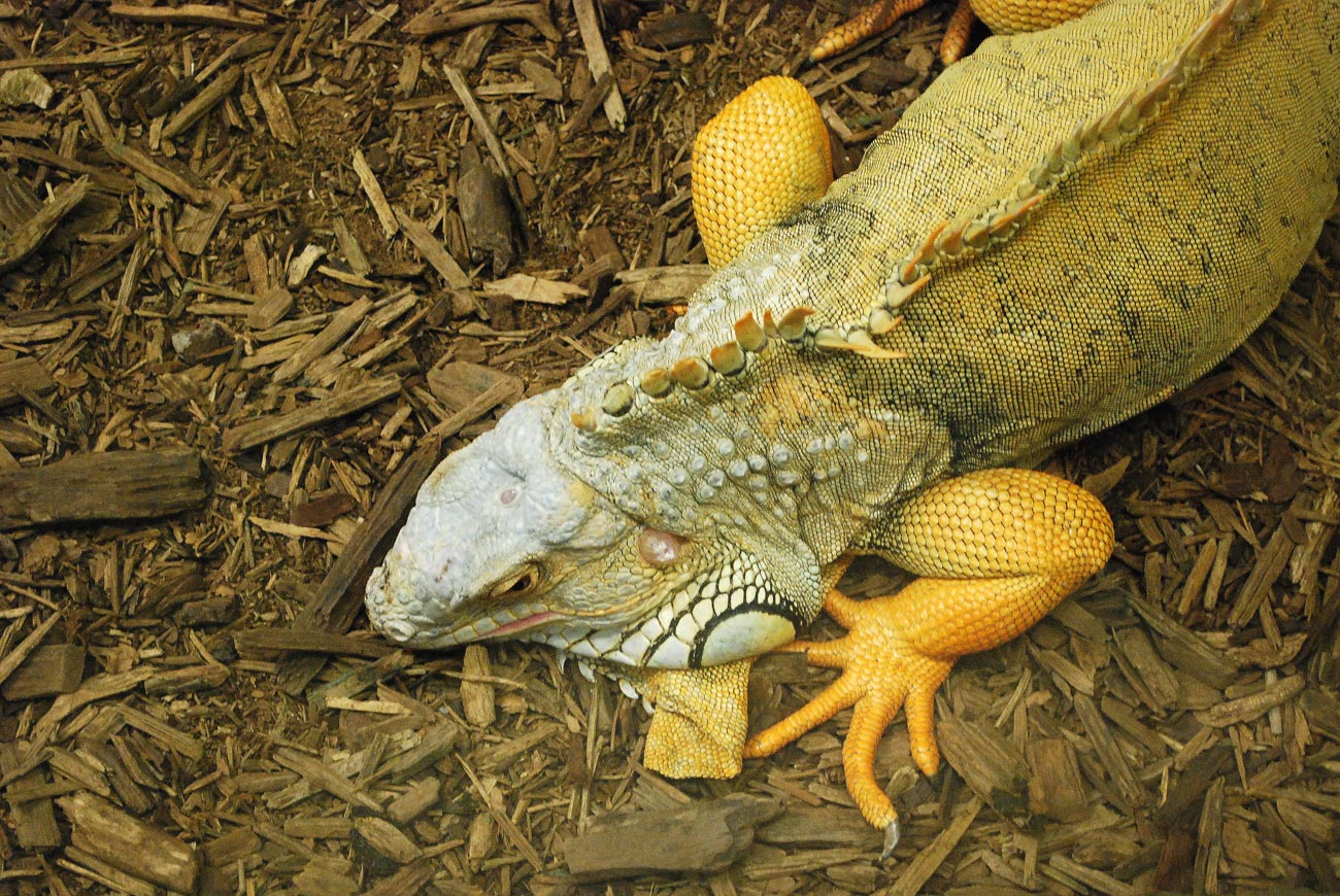 dragon reptile