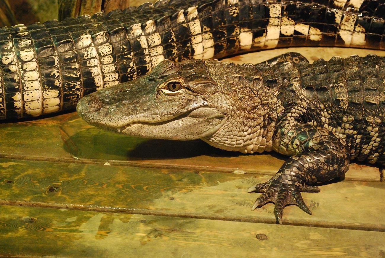 crocodile on deck