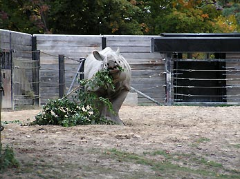 rhinoceros eating