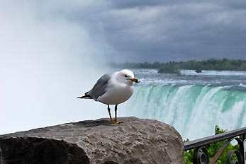 seagull on rock