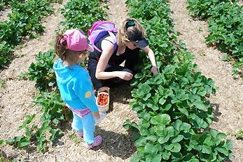 picking strawberries in farm