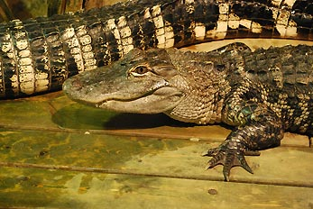 crocodile on deck